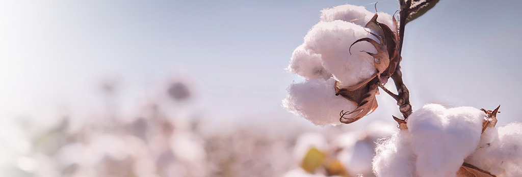 Cotton in field with sunlight.